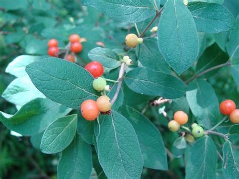 What kind of wild berry am I growing? (plants forum at